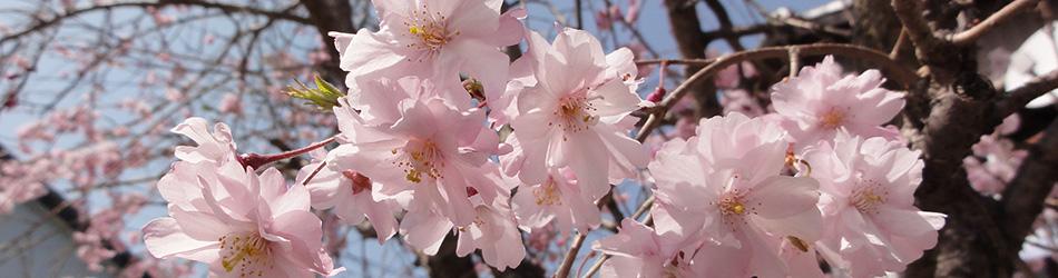 2013年の桜